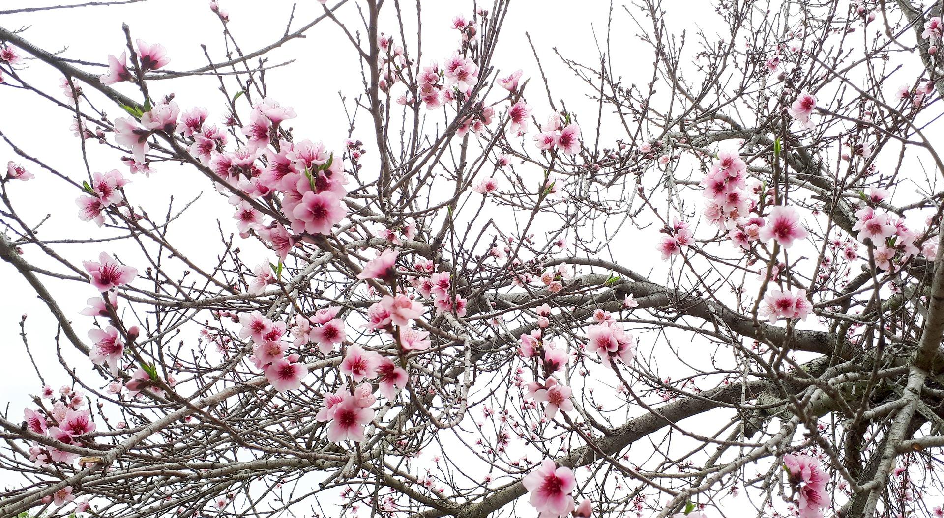 картинка Февраль 2018 (цветущее дерево)