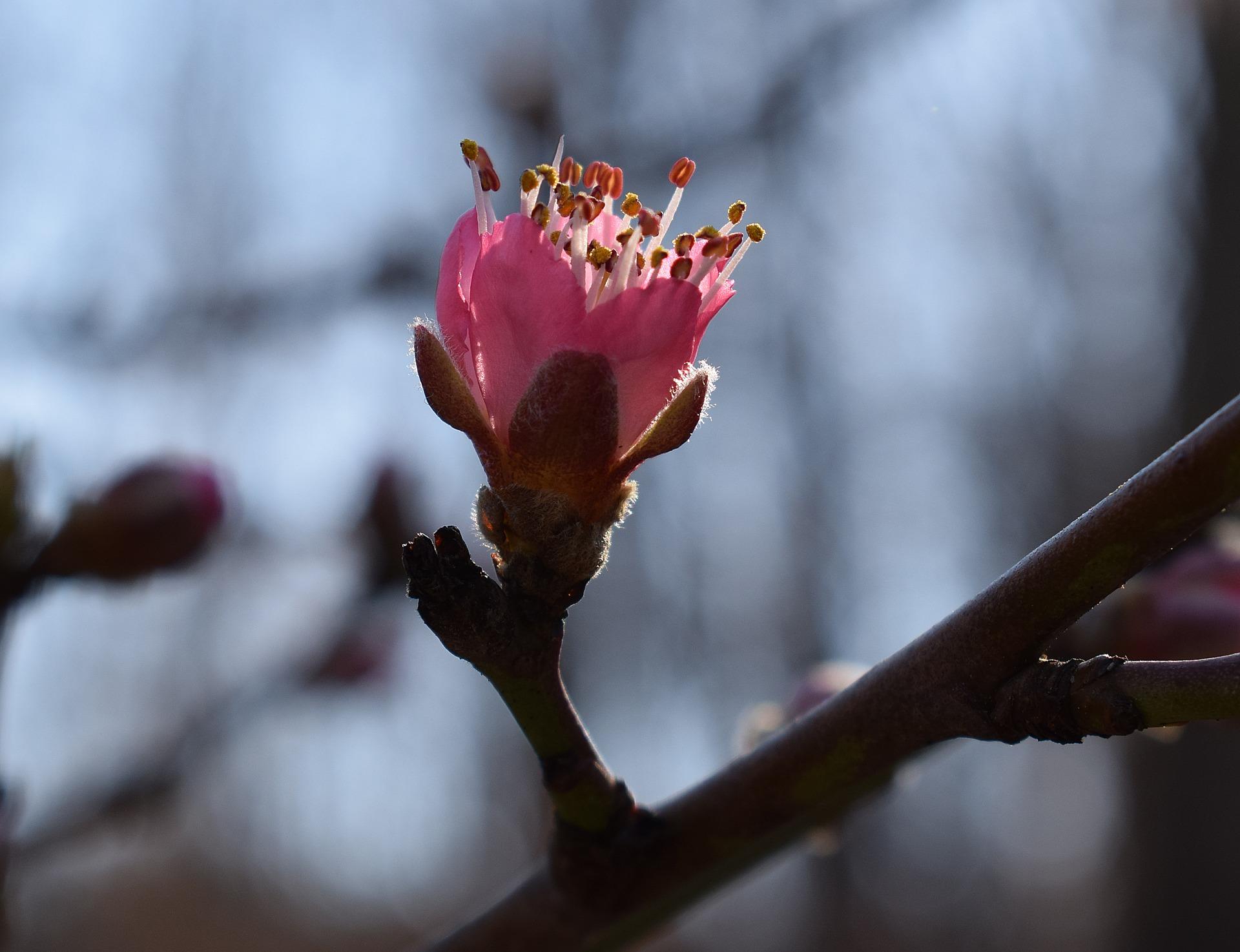 Картинка бутон цветка персика